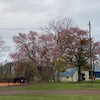 桜も少し散りゆく。牧場見学について。の画像