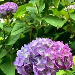 画像 紫陽花よりも? の記事より 1つ目