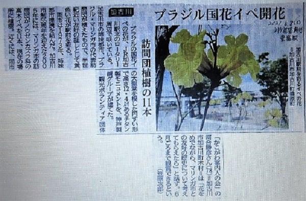 ≪花談義649≫ イペの花の神戸と加古川の神戸新聞記事 出石さんと久留米のはなさんよりの記事より