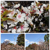 千島桜の画像