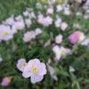 淡いピンクのヒルサキツキミソウの画像