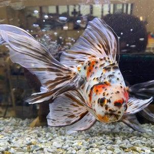 【北山店】金魚入荷の画像