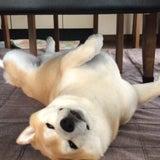 『 家に帰ると…犬が必ず死んだふりをしています 』の記事画像