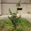 榊を植樹しましたの画像