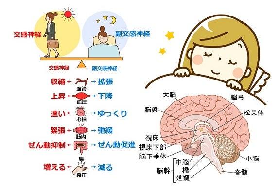 ノンレム催眠・大脳・副交感神経
