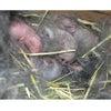 茨城県水戸市にあるウサギ販売店「プティラパン」 ネザーランド『桜』ベビー 5/13生①の画像