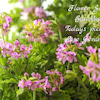 Rose geraniumの画像