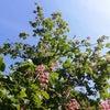 青空にベニハナトキノキ映えるの画像
