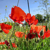 La saison des coquelicots 南フランスはポピーの花の季節です。の画像