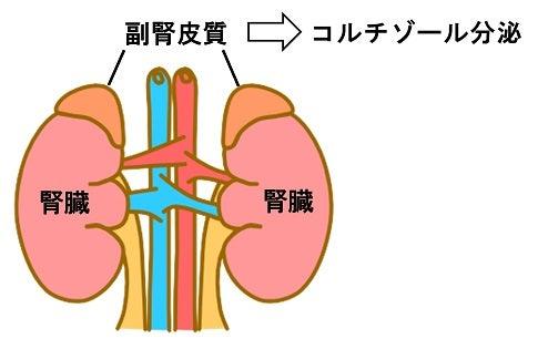 コルチゾール・副腎皮質