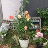 お家の薔薇が見ごろですの画像