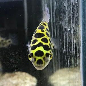 【門真店】熱帯魚・メダカ入荷のおしらせの画像