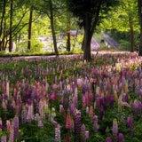 *ルピナス* にょきにょきの森 in 武蔵丘陵森林公園の記事画像