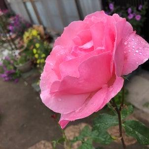 バラといえば…☆永遠☆ヽ(・∀・ )ノ キャッ キャッの画像