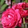 このバラの名は?の画像