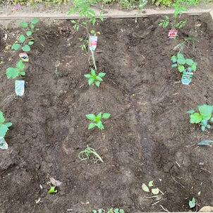 野菜の苗を植えましたの画像
