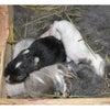 茨城県水戸市にあるウサギ販売店「プティラパン」 ネザーランド『桜』ベビー 5/13生②の画像