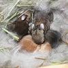 茨城県水戸市にあるウサギ販売店「プティラパン」 ネザーランド『チロル』ベビー 5/16生②の画像