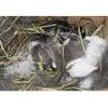 茨城県水戸市にあるウサギ販売店「プティラパン」 ネザーランド『桜』ベビー 5/13生③の画像