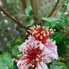 フェイジョアの花の画像