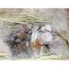 茨城県水戸市にあるウサギ販売店「プティラパン」 ロップ『なな』ベビー 5/20生③の画像