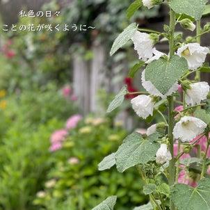 タチアオイが咲き始めました♪の画像
