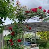 お庭にも、バラが咲き始めましたよ❣️の画像