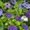 紫陽花の美しい季節ですね〜☆の画像