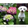 紫陽花の季節、ペットの幸せを願うの画像