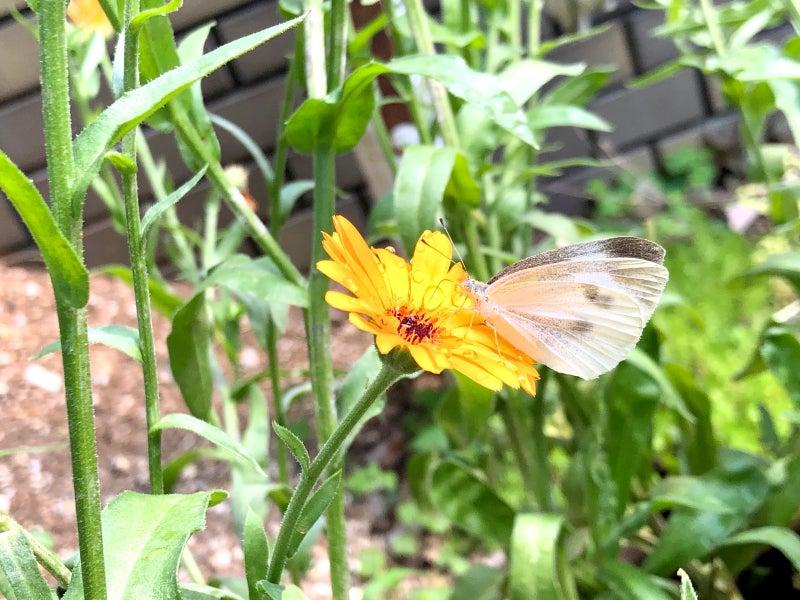 黄色い花に止まるモンシロチョウimage