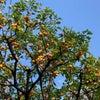 オレンジの実がたわわになる家での画像