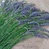 ラベンダーグロッソ咲き始めましたの画像