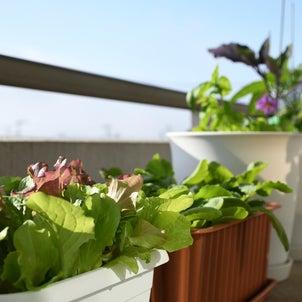 プランターの野菜たち、元気に実を付けてきました。生命を感じる習慣。の画像