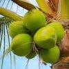 夏の常備オイル「ココナッツオイル」の画像