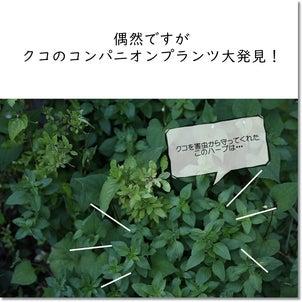 """""""クコ""""のコンパニオンプランツ大発見!の画像"""