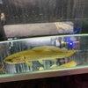 熱帯魚】アミアカルヴァ在庫ありますの画像
