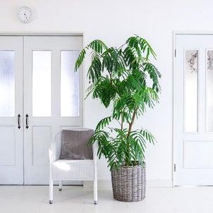 ★【我が家の暮らし】観葉植物の育て方 (エバーフレッシュの場合)の画像