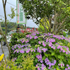 紫陽花も咲いていますの画像