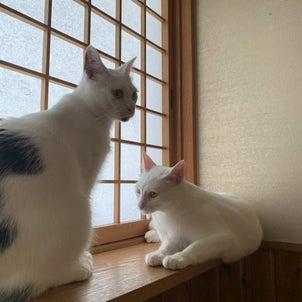 【里親募集中】ルル(白猫)&クウ(白黒猫)姉妹猫 の画像