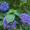 紫陽花も暑いよの画像