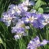 ホイケ日程と菖蒲の花の画像