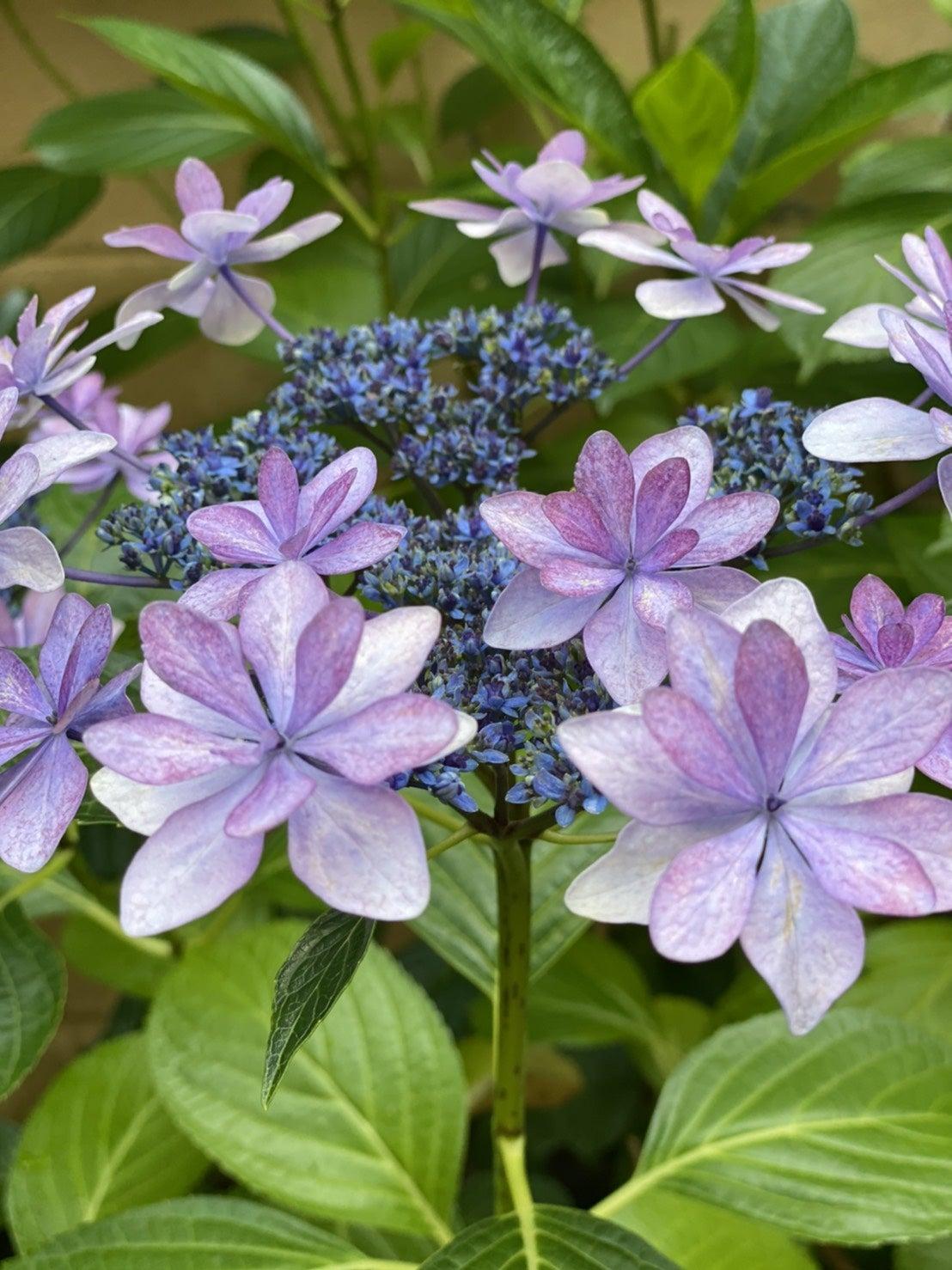 紫陽花:松井
