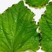 大葉の移植と、葉先が枯れた大葉の原因と対処