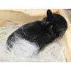 茨城県水戸市にあるウサギ販売店「プティラパン」 ネザーランド『ノコ』ベビー 6/2生②の画像