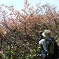 6月11日(金) は天涯の桜を見に藻琴山へ
