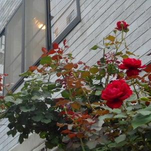 深紅の薔薇の花弁がふわふわ~❤の画像