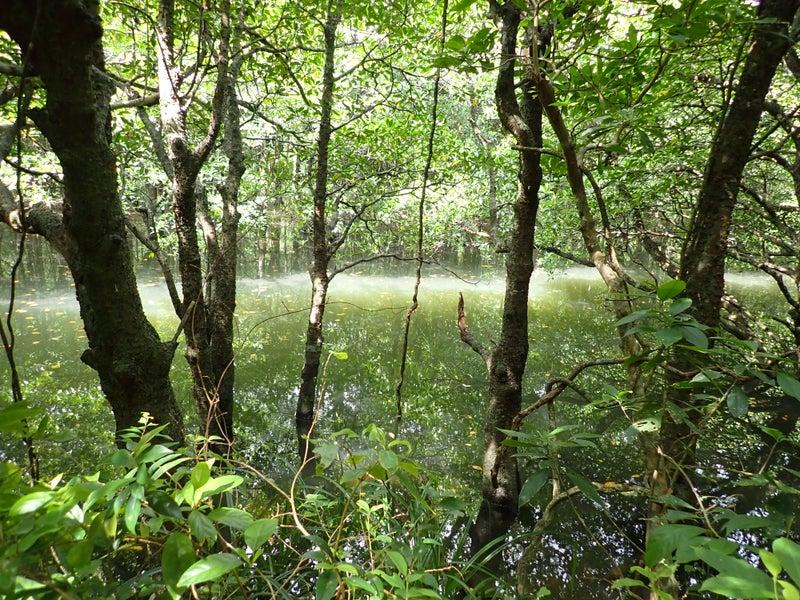 西表島 のぶず マングローブ植物