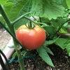 色づいてきたトマトと大きくなってきたパプリカの画像