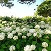 紫陽花のアンデコの画像