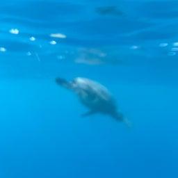 画像 ホンジュラスのロアタンで亀と一緒に泳ぐ の記事より 6つ目